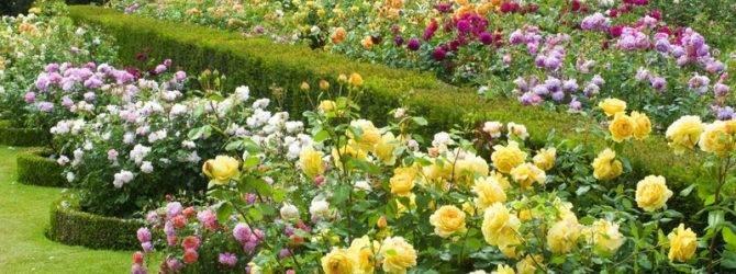 Когда летом высаживать розы в открытый грунт, чтобы они благополучно прижились?
