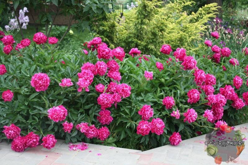 Посадка ирисов осенью для роскошного цветения весной. неожиданные секреты: как правильно размножить и посадить ирисы осенью.