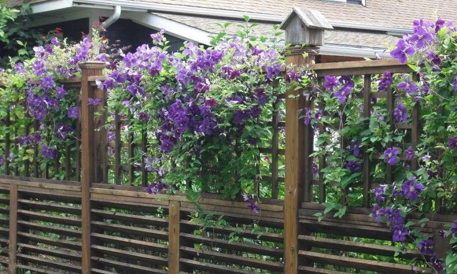 Как добиться цветения лианы клематис