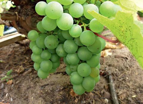 Когда пересаживать виноград