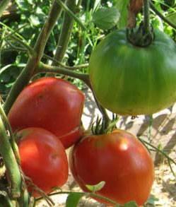 Описание и фото томата эм чемпион, урожайность сорта, отзывы