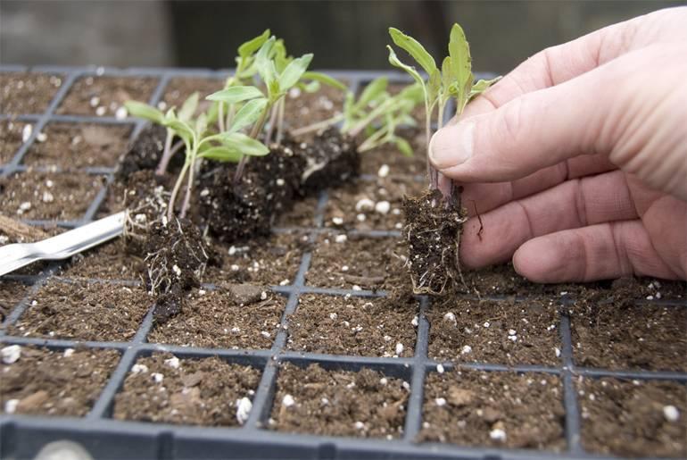 Какая земля лучше для рассады − садовая или покупная?