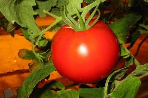 Описание сорта томата Василий, его характеристика и выращивание