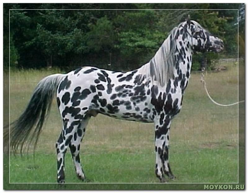 Чубарая масть лошади: какой это цвет и оттенки, у каких пород бывает