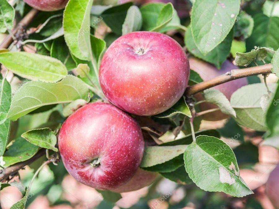 Описание и характеристика сорта яблок спартан