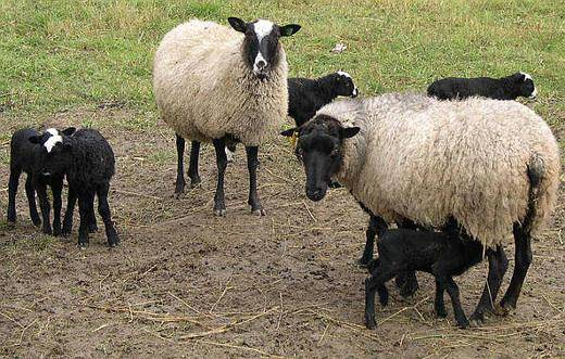 Как правильно стрич овец машинкой