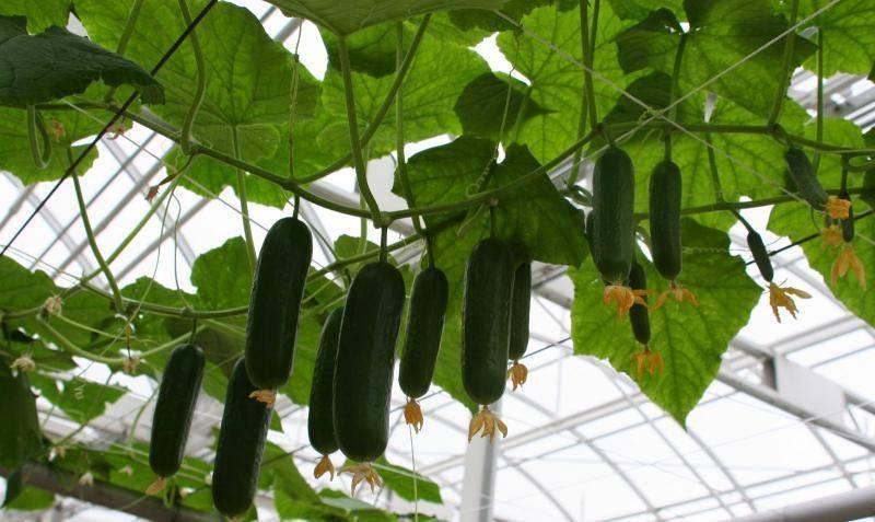 Партенокарпические сорта огурцов: что это такое, выращивание и уход