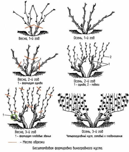 Посадка винограда саженцами весной