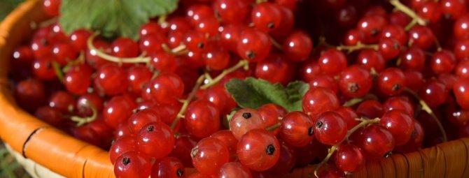 Посадка красной смородины осенью – самые простые способы и инструкции к ним