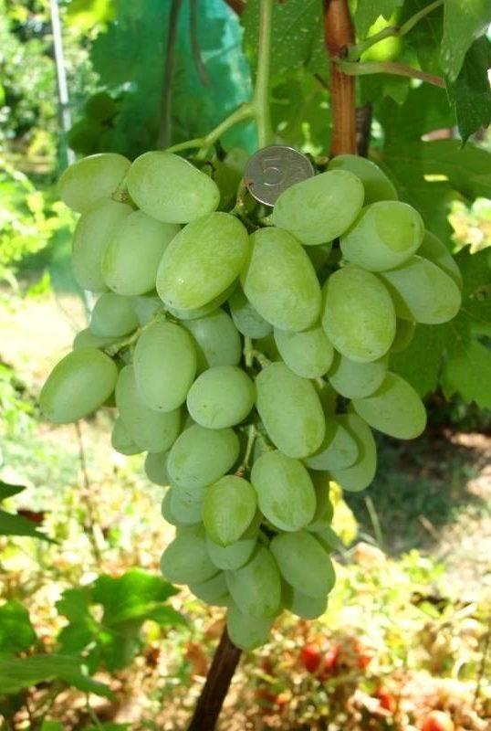 Виноград ландыш — характеристика и описание сорта