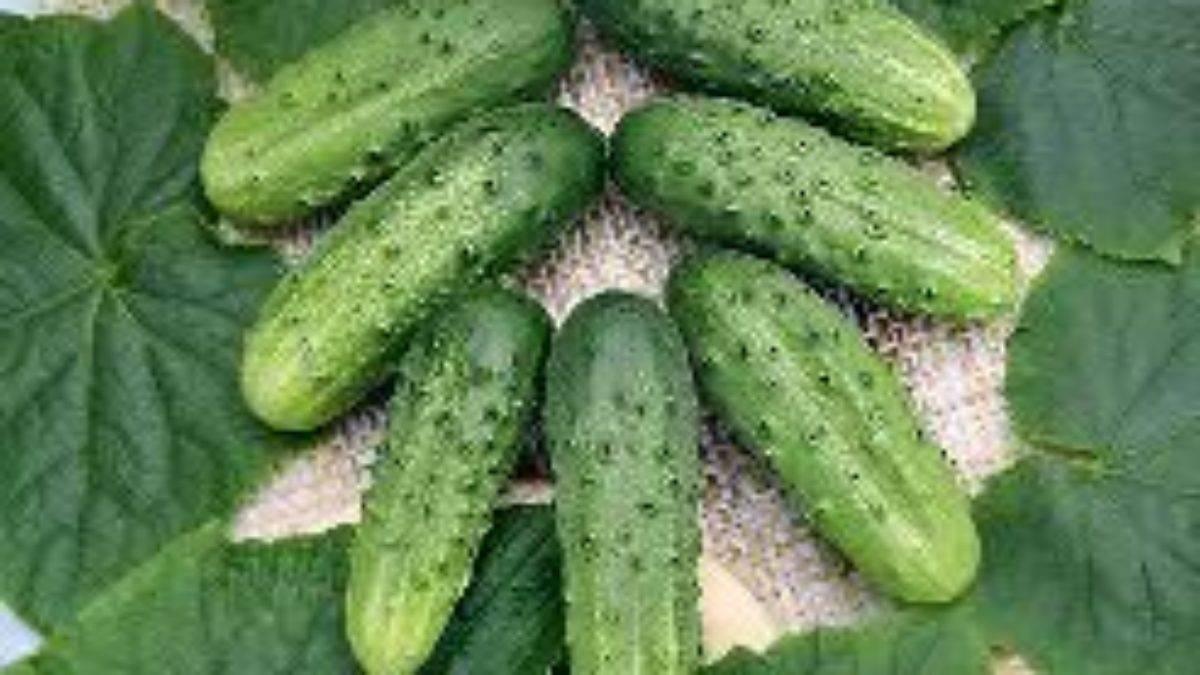 Огурцы «лилипут f1»: посадка, выращивание и уход