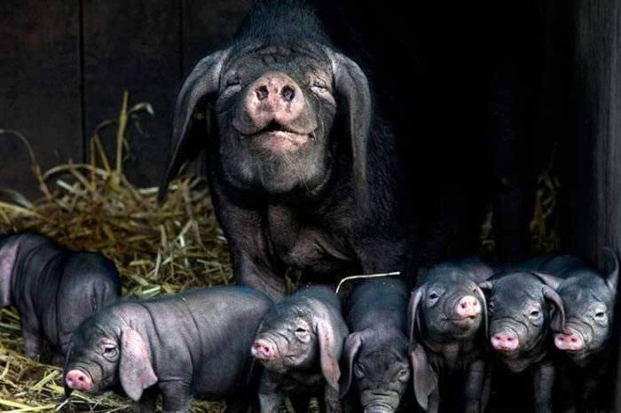 Норма и причины повышения температуры у свиней, как измерить и чем лечить