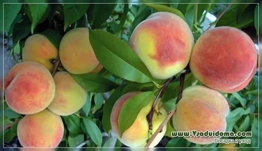 Персик донецкий белый — описание сорта и отзывы садоводов
