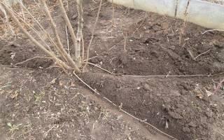 Можно ли вырастить фундук (лещину) в сибири