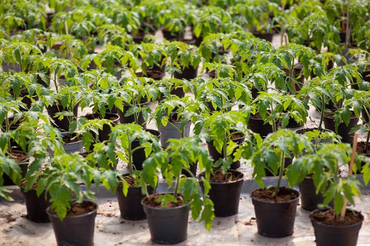 Как и когда сажать помидоры на рассаду в 2020 году
