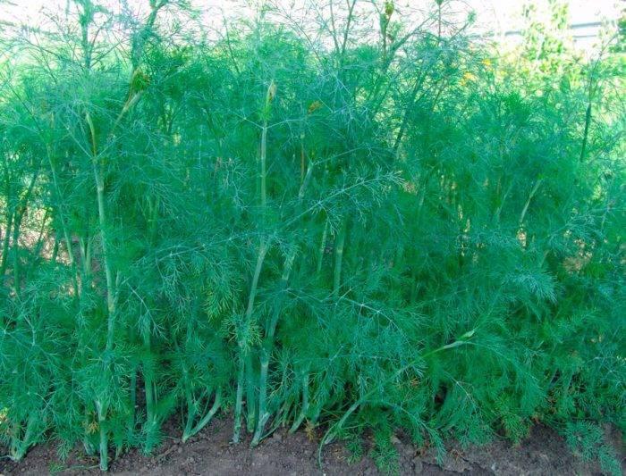 Укроп кустовой: описание сортов, выращивание и уход с фото