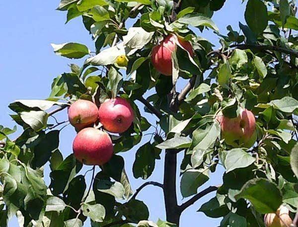 Описание и характеристики сорта декоративной яблони рудольф, плюсы и минусы, выращивание