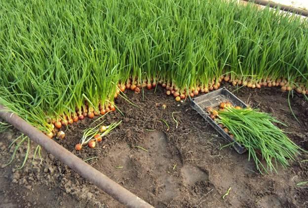 Как и когда сажать лук севок в открытый грунт весной в 2020 году
