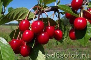 Сорта вишни загорьевская и загорьевская 2