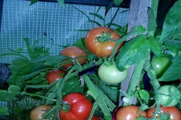 Томат розовый мед характеристика и описание сорта. агротехника выращивания и ухода