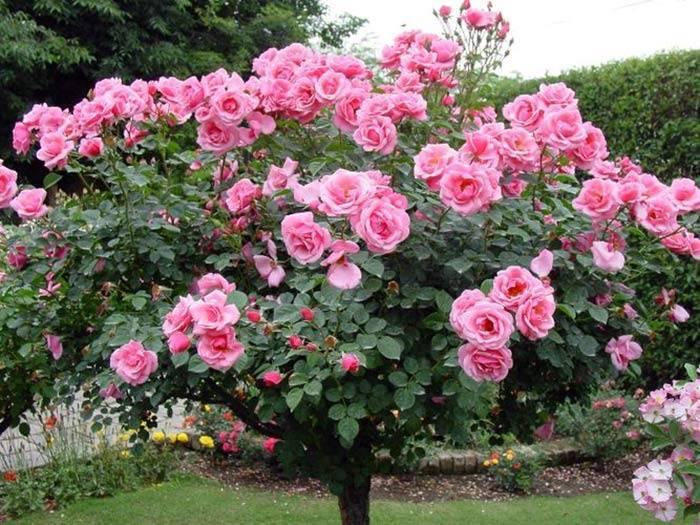 Посадка и уход за полиантовыми розами