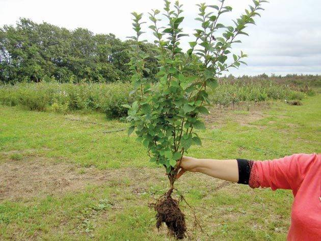 Выращивание плодово-ягодных деревьев: посадка вишни осенью
