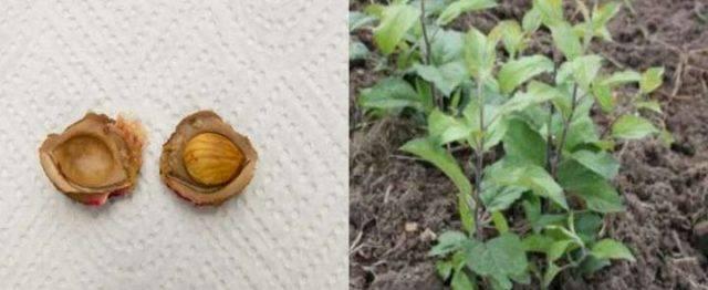 Ухаживаем за сливой в сибири: посадка и выращивание, выбор сорта