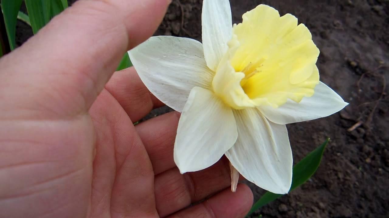 Нарциссы чирфулнесс – особенности посадки и выращивания ароматного сорта