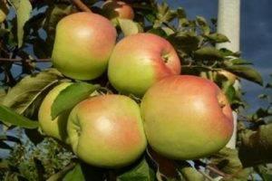 Выращивание лучших декоративных сортов райской яблони