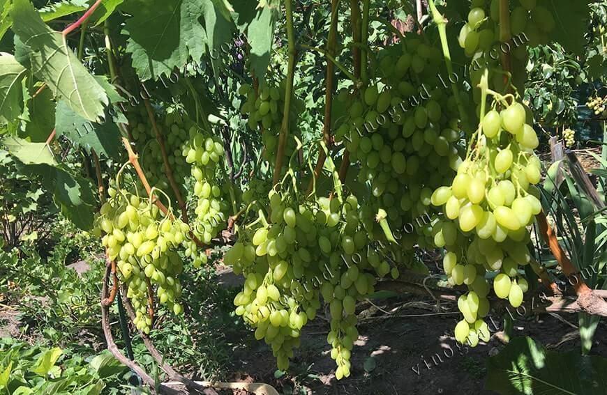 Описание и характеристики сорта винограда кишмиш Столетие, выращивание и уход