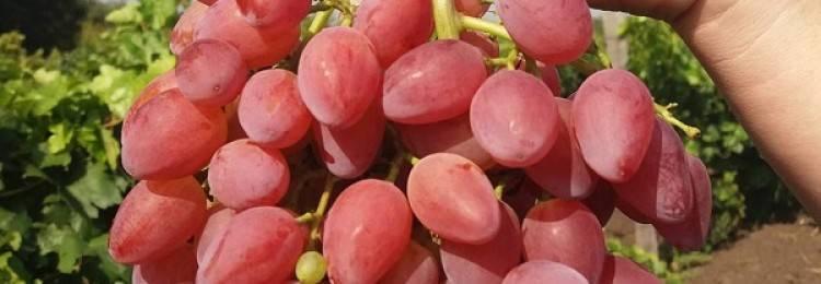 Виноград кишмиш лучистый – описание сорта, фото, рекомендации по выращиванию