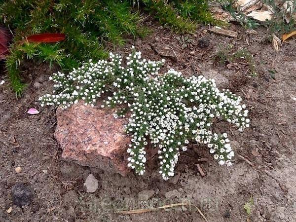 Астра кустарниковая: фото, описание, уход, размножение