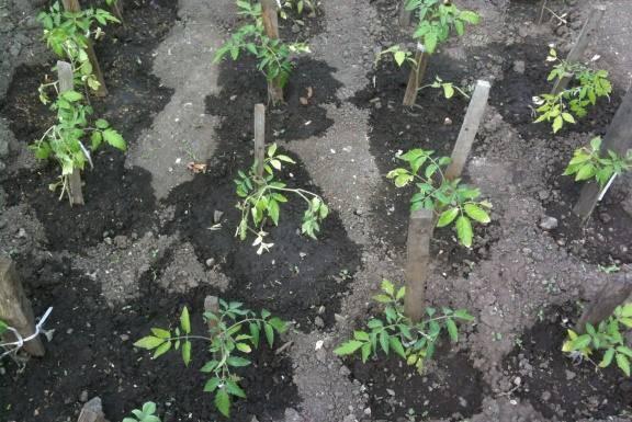 Любительская инструкция по посадке огурцов в теплице рассадой