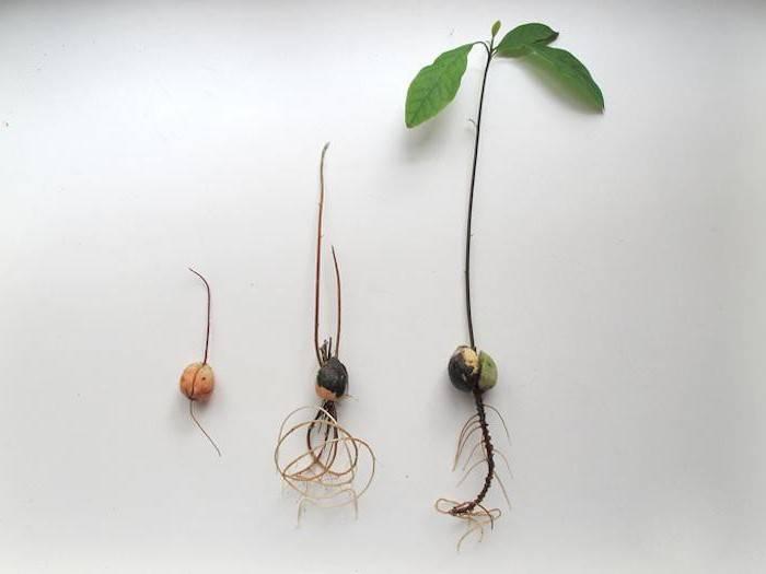 Нужно ли замачивать обработанные семена огурцов