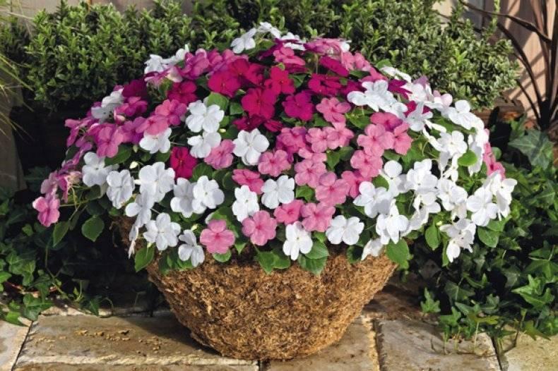 Сроки и правила посадки бальзамина на рассаду в домашних условиях