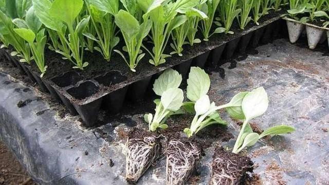 Плохо растет рассада капусты — что делать