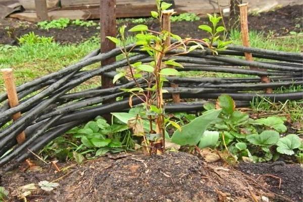 Кустовой клематис: сорта, посадка, уход и размножение
