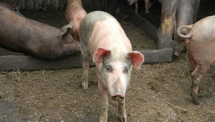 Заболевания кожи у свиней: первые симптомы, правила лечения, особенности профилактики