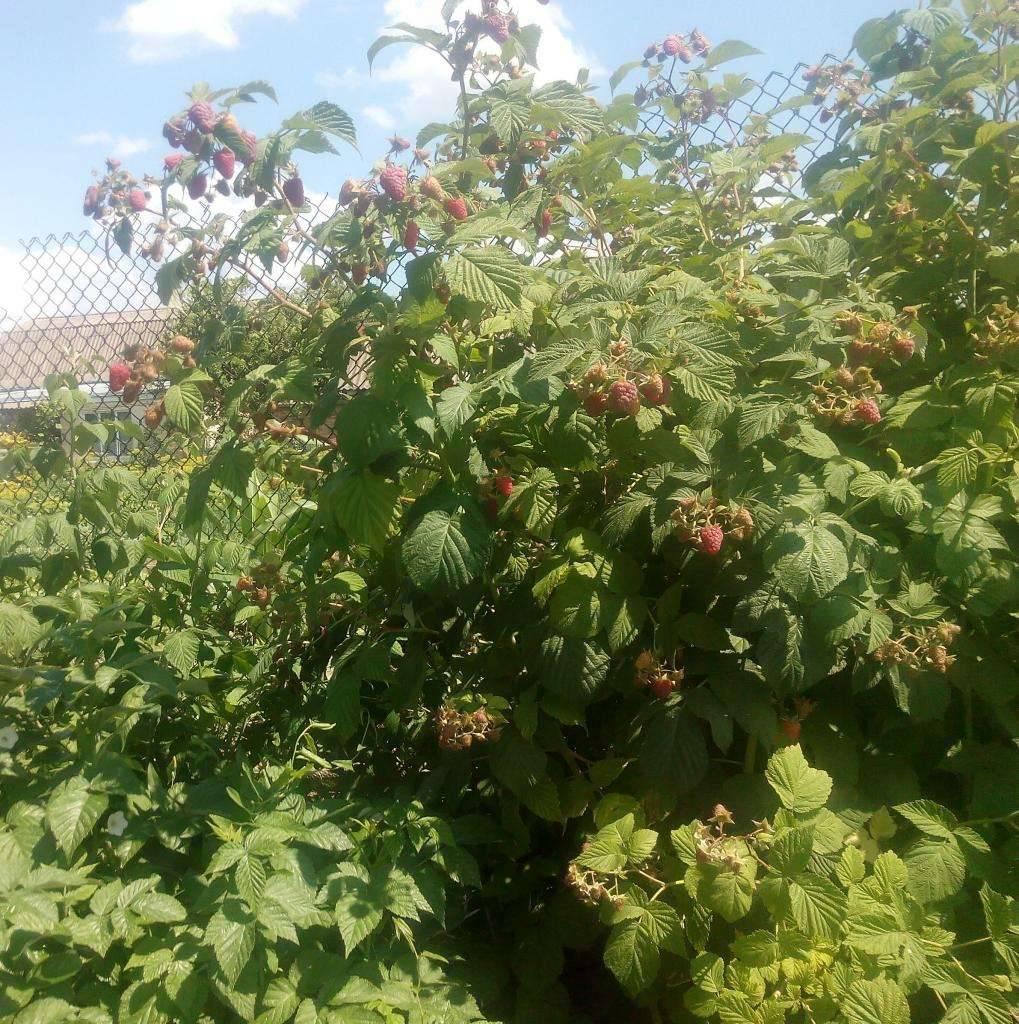 Описание и характеристики сорта малины Гусар, урожайность, выращивание и уход