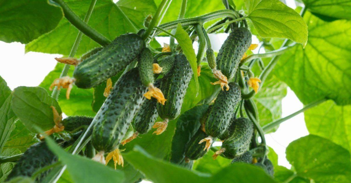 Описание сорта огурца Драгун, его характеристика и урожайность