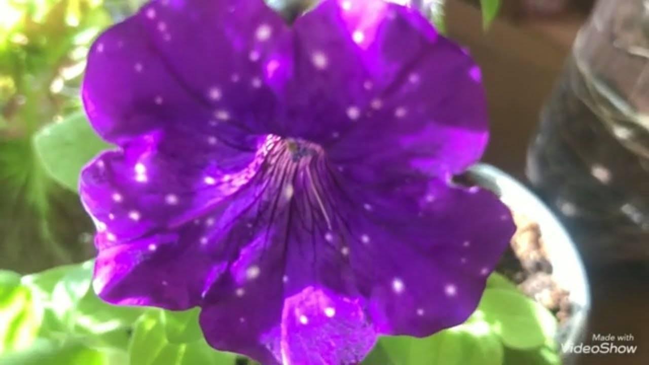 Вегетативная петуния: сорта, размножение, выращивание