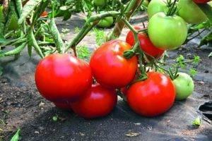 Голландский гибрид для фермеров — томат хайпил 108 f1: отзывы об урожайности, описание сорта