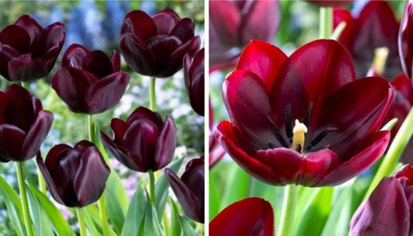 Лилиецветные тюльпаны.