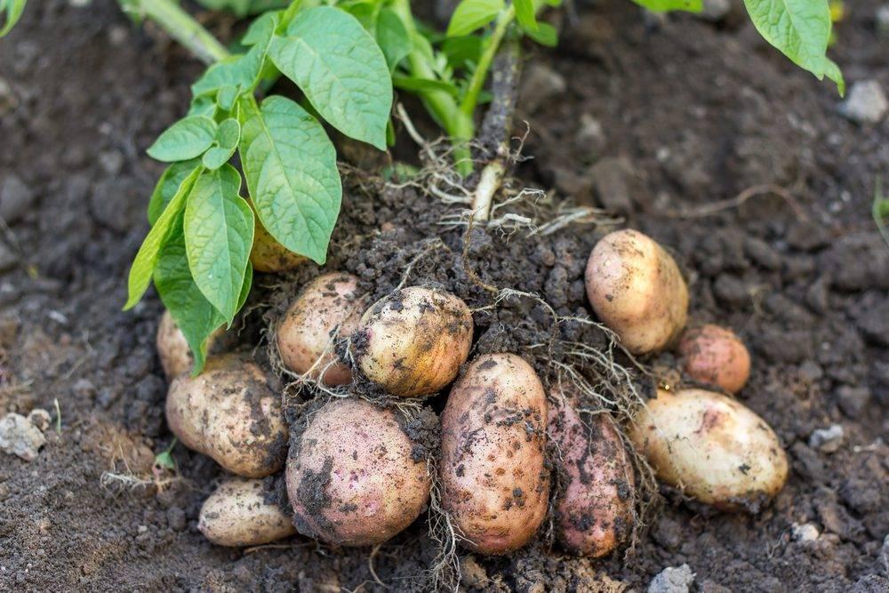 Курчавость картофеля: методы борьбы, лечение, профилактика
