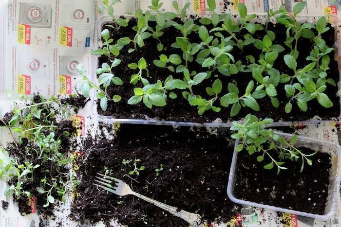 Можно ли ускорить прорастание семян — как посеять петрушку, чтобы она быстрее взошла?
