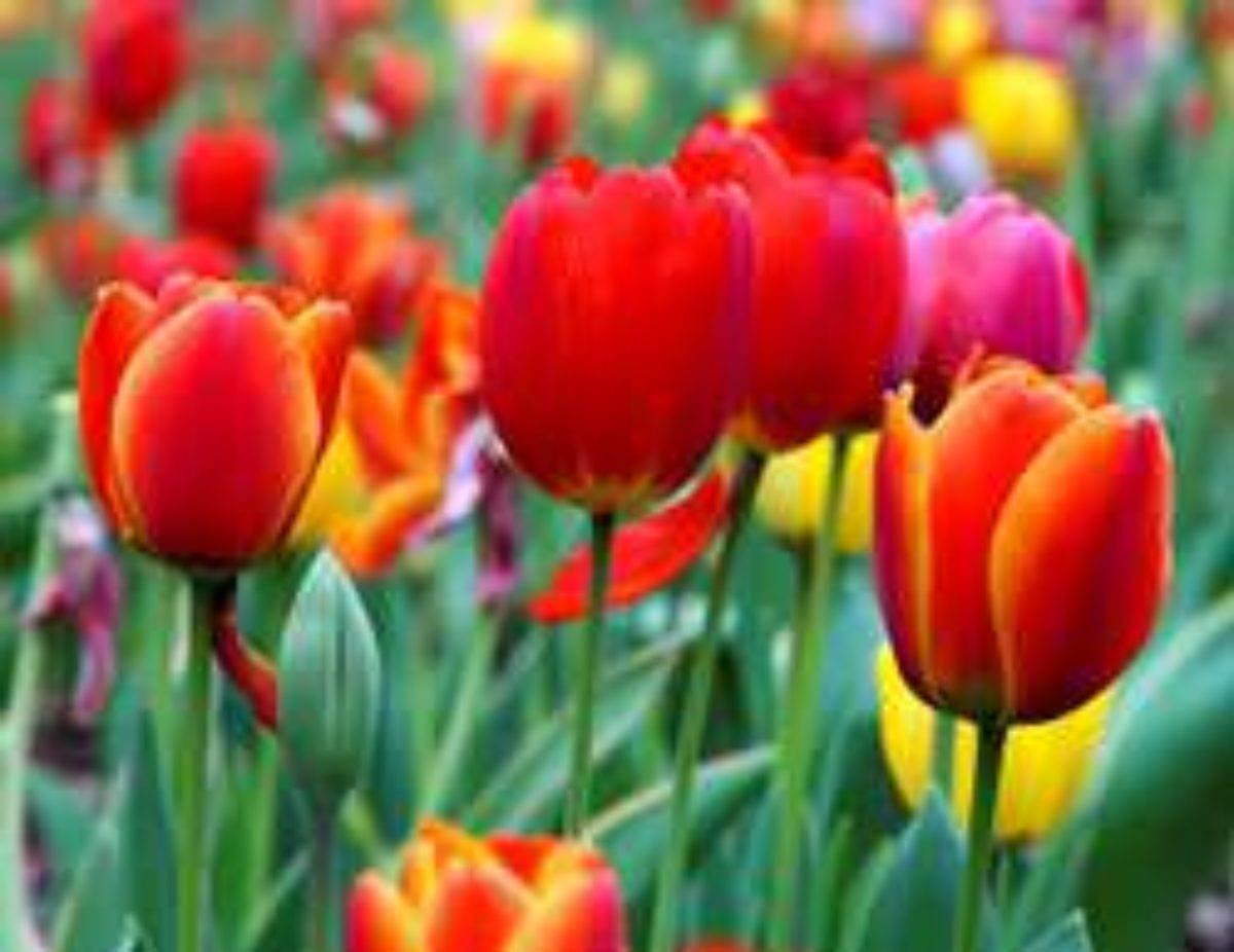Когда садить тюльпаны осенью на урале
