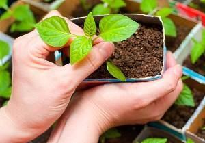 Как правильно вырастить перец в теплице