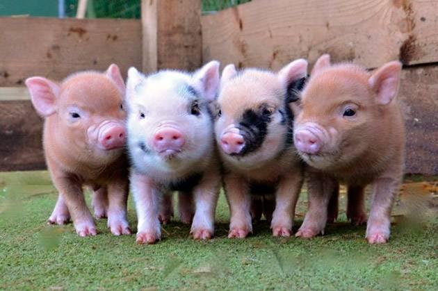 Мини-пиги — карликовые домашние свиньи