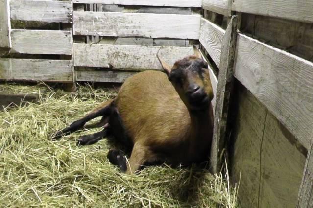 Что делать при малом количестве молока у козы после окота и как увеличить