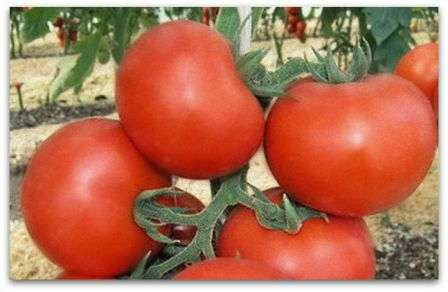 Описание и характеристика сорта томата «катя f1»: фото, видео + отзывы